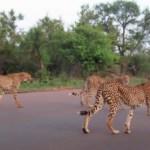 """guepardos - VIDEO: Una leona le """"roba"""" un impala recién cazado a 5 guepardos en el Parque Kruger de Sudáfrica"""
