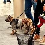 tigre withexican - La Alcaldía de Miguel Hidalgo apercibe a centro comercial Antara por paseo de mujer con un tigre
