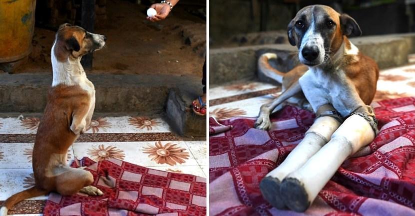 perrito atropellado india gran bretana - Callejera atropellada por el tren recibe prótesis y será adoptada en Gran Bretaña. Tendrá vida nueva