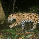 Jaguar México Medellín 2 e1595122213231 - Traficantes de pieles fueron delatados por un jaguar de Chiapas