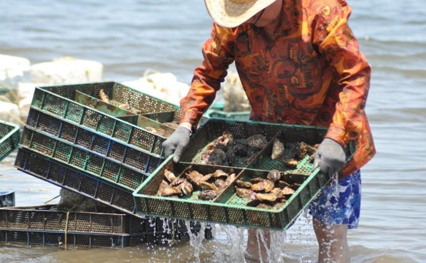 ostricultor sinaloa.jpg 242310155 - Pesca entrega apoyos en Altata para el cultivo de ostiones
