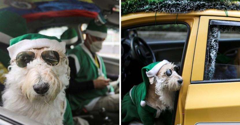 perro santa claus - Coronel, el perro taxista que recorre las calles de Colombia vestido de Santa Claus. Regala alegría