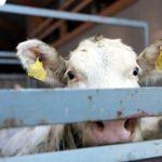 La crueldad del comercio internacional de ganado - Tortura animal: La crueldad del comercio internacional de ganado