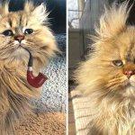 barnarby gato malhumorado consentido001 - Barnaby: El malhumorado gato persa que se ha hecho famoso en Estados Unidos. Odia que lo despierten