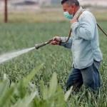 maxz transgenico crop1609649015086.jpg 242310155 - Industria dividida por prohibición maíz transgénico en México