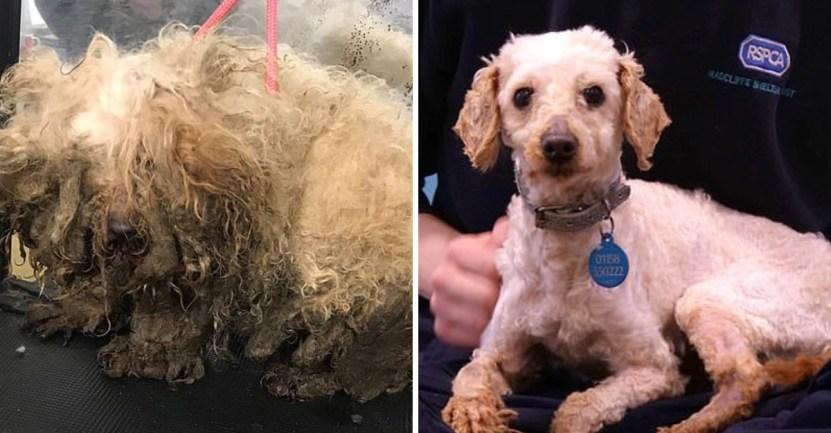 perro abandono pelo rescate - Con el pelo enredado, sucios y hambrientos, los abandonaron. Son irreconocibles tras su cambio