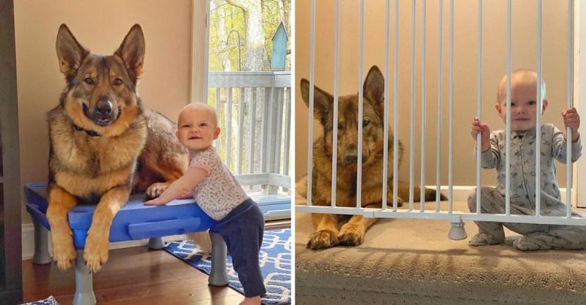 perro bebe hermana guardian - Perro policía ama estar junto a la bebé de la familia. Es un guardián dentro y fuera de la casa