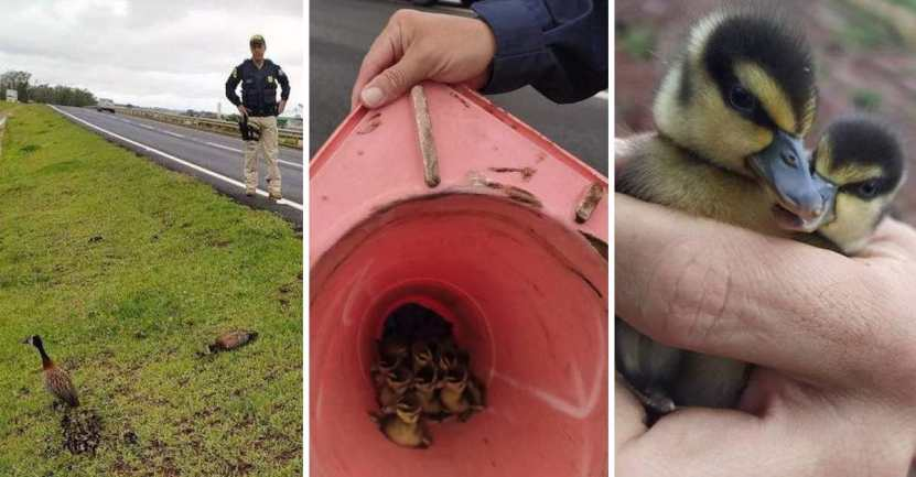 policia ayuda a polluelos - Policías brasileños ayudan a familia de polluelos a cruzar la carretera con un cono. Están a salvo