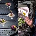 rabanos espaciales 1 - Astronatuas comieron los primeros rábanos cultivados en el espacio. Son más limpios que en la Tierra
