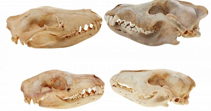 se 1201 21 - Cráneo del tigre de Tasmania es más parecido al de un lobo que al de un marsupial, dice estudio