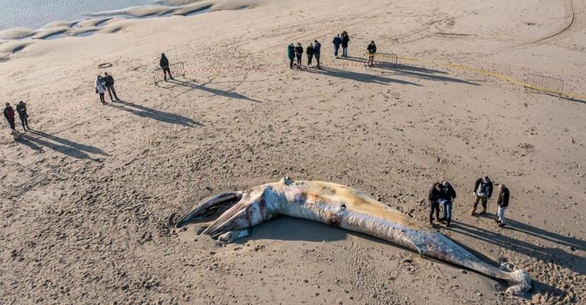 ballena varada playa francia - Ballena quedó varada por semanas en una playa de Francia. Nadie la descubrió a tiempo para ayudarla