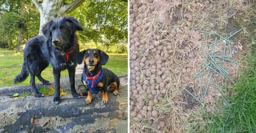 """comida clavos perro - Mujer salva a su perro de comer alimento mezclado con clavos en la calle: """"Es un acto criminal"""""""