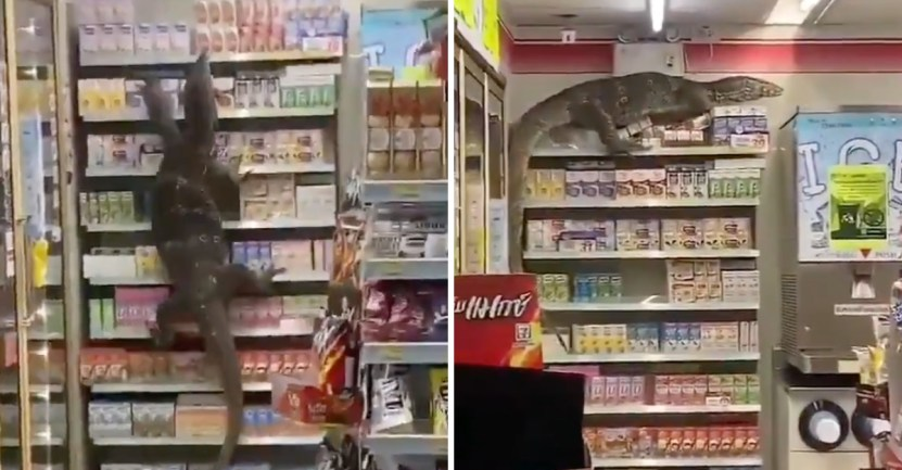 lagarto local tailandia - Lagarto gigante causó terror en un supermercado en Tailandia. Entró y derrumbó todo a su paso