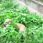 perro paralizado ayuda - Perrito paralizado se dejó caer en el pasto a sufrir en silencio. Lo ayudaron a caminar de nuevo