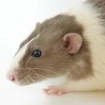 ratas aniamles pruebas taiwan - Taiwán prohibió pruebas de ahogamiento y electrochoque en animales. Eran usados con fines médicos