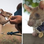 44 magawa rata minas explosivos trabajo retiro bombas camboya - Mine detection rat retires after defusing 99 explosives in 7 years. She finally gets her well-deserved rest