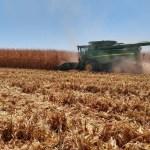 cosechas de maiz.jpg 242310155 - Avanzan las cosechas de maíz en Higuera de Zaragoza, Ahome