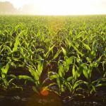 Cultivo de maiz Alejandro Barron en Pexels - Príncipe Carlos: La agricultura industrial para producir alimentos baratos amenaza granjas familiares y arruina al planeta
