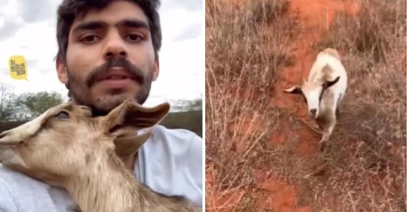 cabra joven rescata chivo - Joven ayuda y orienta a su cabrito ciego perdido en el campo. Lo lleva a casa entre sus brazos