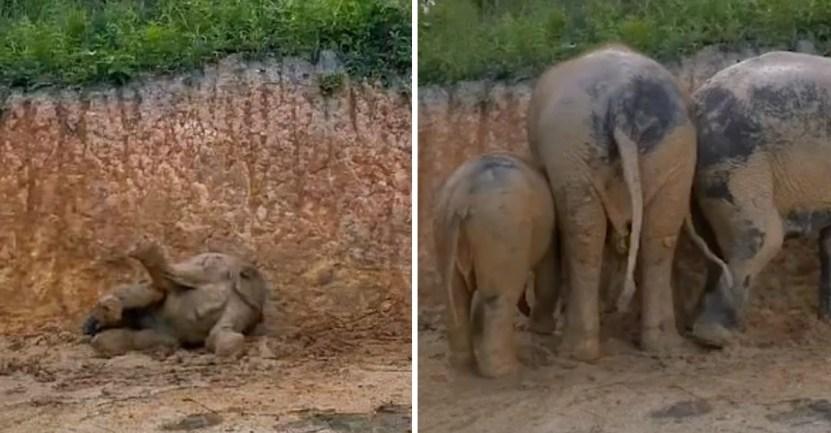 elefantes barro bano - Grupo de elefantes en Tailandia se revolcaron felizmente en el barro. Se refrescaban del calor