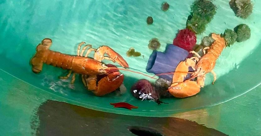 """langostas naranjas rescatadas - Langostas avistadas """"una en mil millones"""" son rescatadas de la olla a instantes de ser hervidas"""