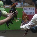 """pelea gallos1 - Hidalgo intenta declarar """"patrimonio cultural"""" el asesinato de aves por diversión – SinEmbargo MX"""