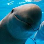 vaquita marina amenaza - Unesco reiteró el peligro que corre la vaquita marina y su hábitat en México. Quedan 10 ejemplares