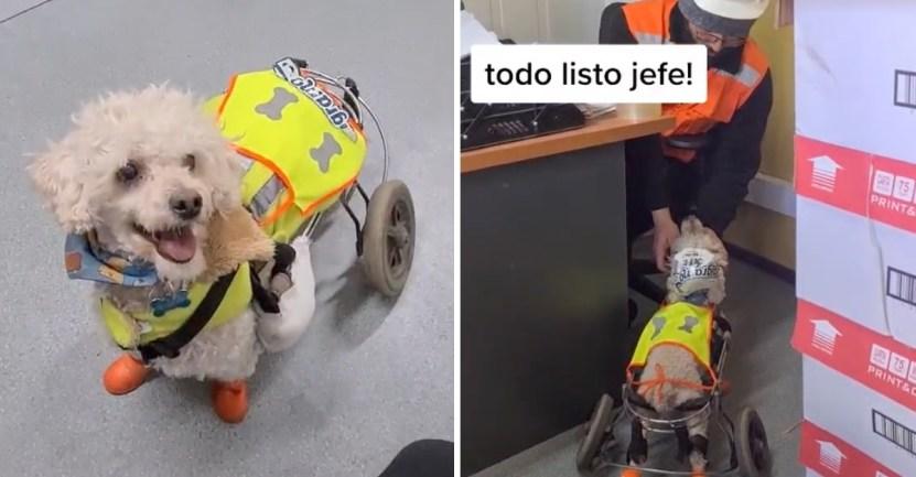 """perrito jefe bodega - """"Llegó el jefe"""": Perrito en silla de ruedas es tratado como encargado de la bodega donde trabaja"""
