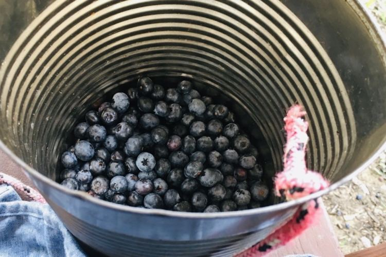 A tin pail with ripe summer blueberries