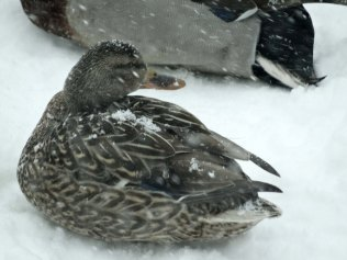 Snowy-backed duck!