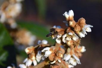Desembre ABELLA CARREGADA DE POL·LEN Una abella entusiasmada s'endú el pol·len de les últimes flors tardorals dels nesprers. Autor/a: Carles Valls Junyent Operador/a inscrit: CT/1662/PE Joan Raventós Millaret Lloc: Hostalets de Pierola (Anoia)
