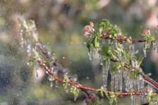 GEL QUE SALVA EL GEL Flors i branques de pomera envernissades de gel pel rec per aspersió. Autor/a: Sergi Ricart Ibars Operador/a inscrit: CT/3861/P Xaver Farré Sahún Lloc: Llesp, El Pont de Suert (Alta Ribagorça)