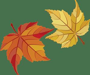 maple leaves, maple, leaves