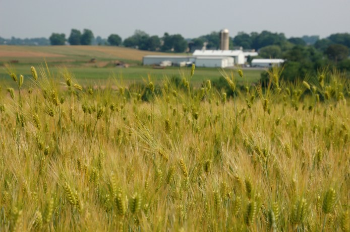 farm field in lancaster, focus on wheat growing and silo in distance