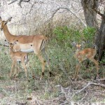 Baby impalas South African Safari