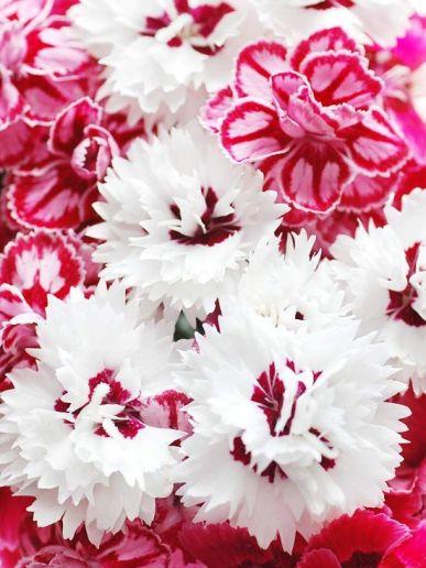 carnations via bhg