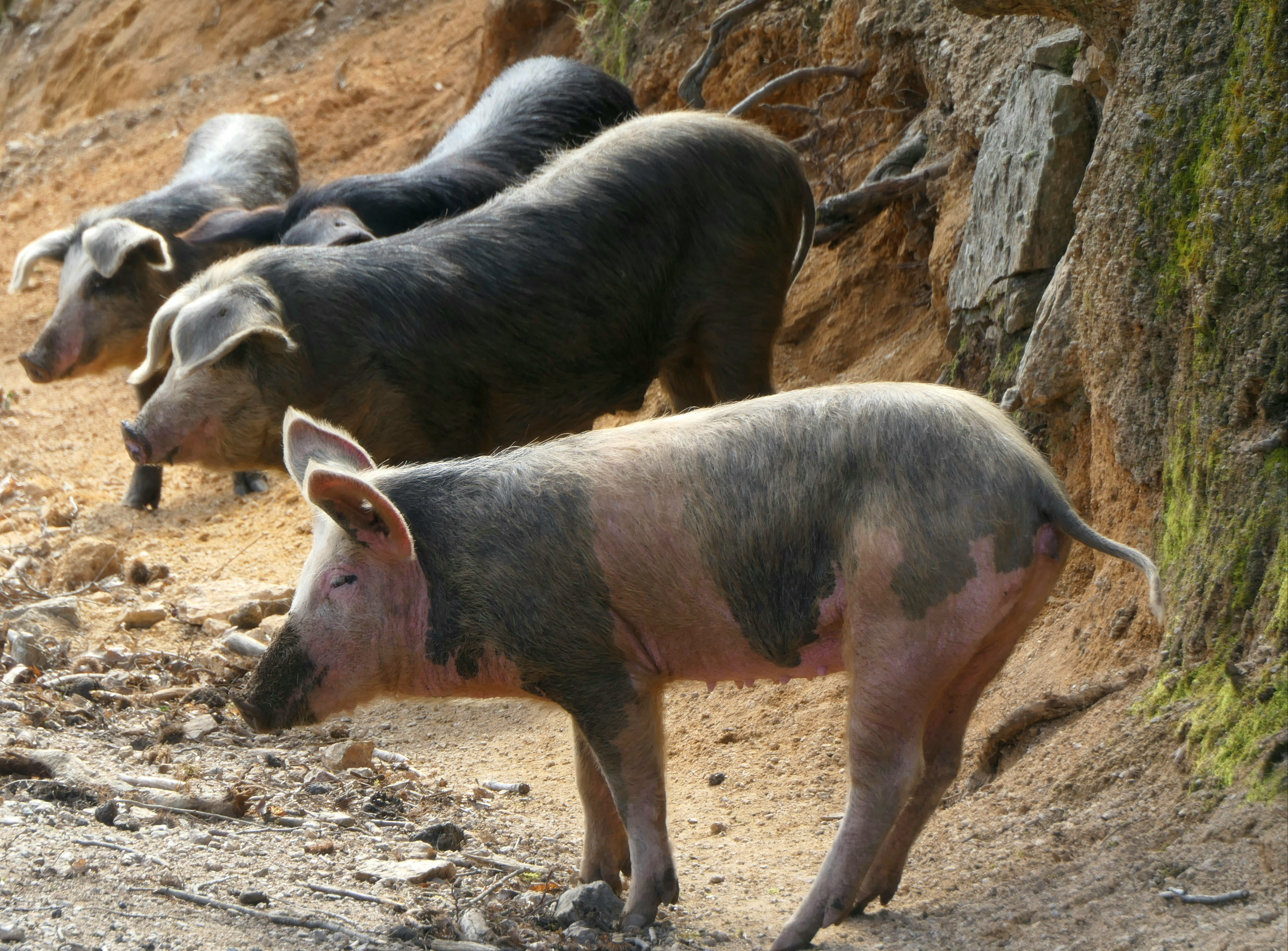 cochons corses