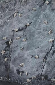 mountain-goat8