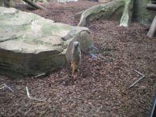 Meerkat doing the meerkat...