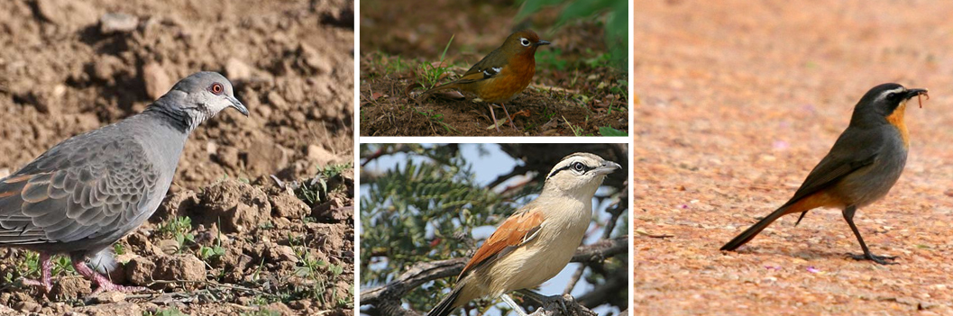 birding-mgahinga