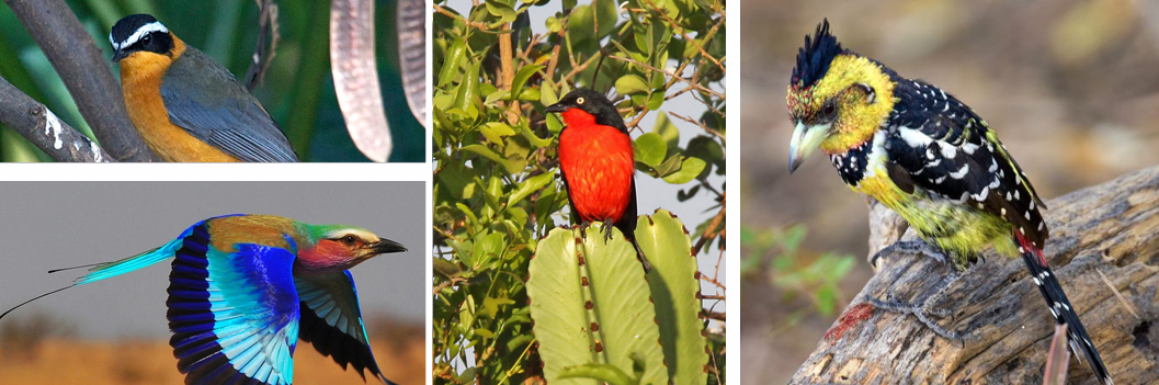 birds-kahuzi-beiga