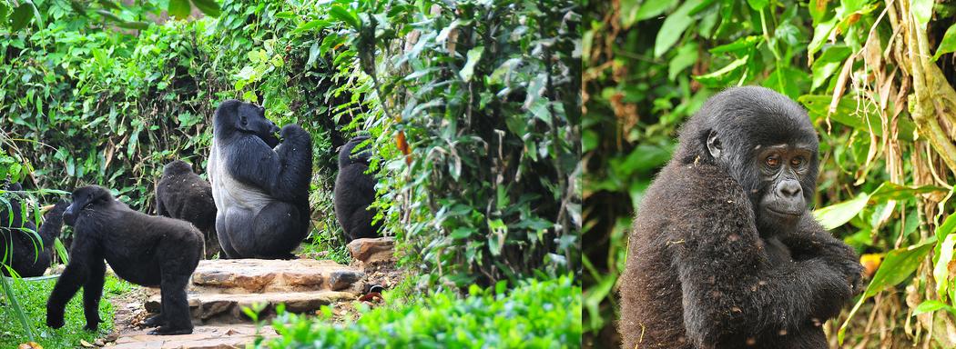 bwindi-gorillas-uganda-safari