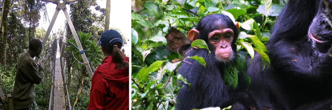 canopy-walk-and-chimp-trekking