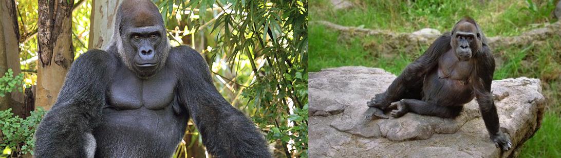 lowland-gorillas-in-congo