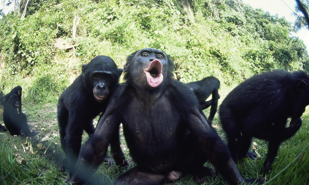 Juvenile bonobo (Pan paniscus) reacting to photographer blowing through the fence. Lola Ya Bonobo Sanctuary, Kinshasa, DR of Congo, 2007