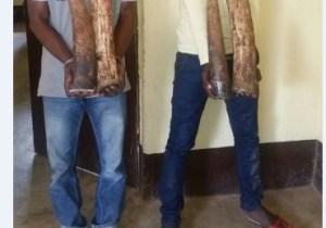 Congo/Brazza : 13 présumés délinquants  fauniques devant la barre à Dolisie