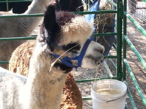 Meeting the alpaca that produced that fiber for the yarn I purchased.