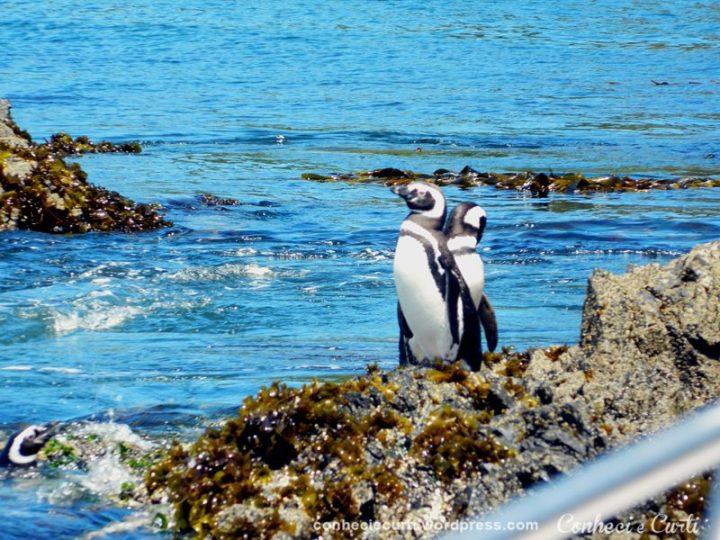 Os pinguins em Puñihuil, Chiloé.