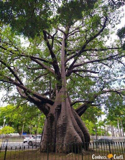 Baobá em Recife, Pernambuco.