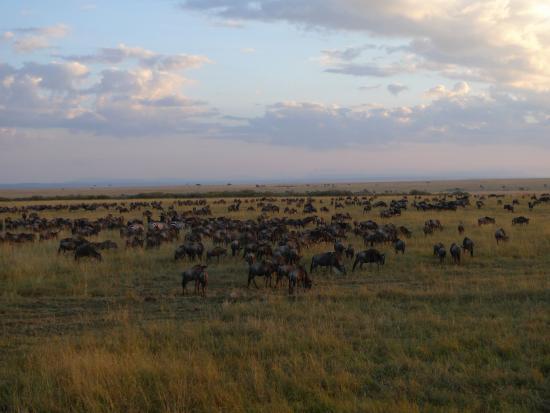 Ñus - Mara - Kenia